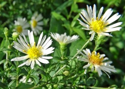 2020-10-11 LüchowSss Garten Myrten-Aster (Aster ericoides) Novemberkraut