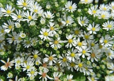 2020-10-11 LüchowSss Garten Teppich-Myrtenaster (Symphyotrichum bzw. Aster ericoides) 'Snowflurry'