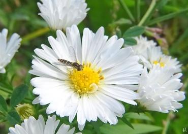 2020-10-11 LüchowSss Garten weisse Neubelgische Glattblattaster (Aster novi-belgii) + Stift-Schwebfliege (Sphaerophoria scripta)