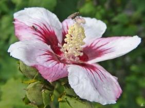 2020-10-11 LüchowSss Garteneibisch (Hibiscus syriacus) + Fliege + Ameise
