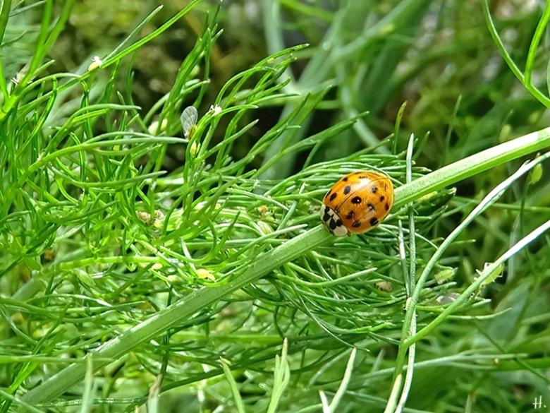 2020-10-13 LüchowSss Garten Asiatischer Marienkäfer (Harmonia axyridis) + Blattläuse (Aphididae) + Fenchel (Foeniculum vulgare)