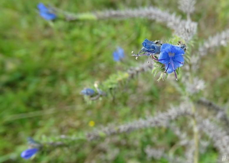 2020-10-13 LüchowSss Garten Gewöhnlicher Natternkopf (Echium vulgare)