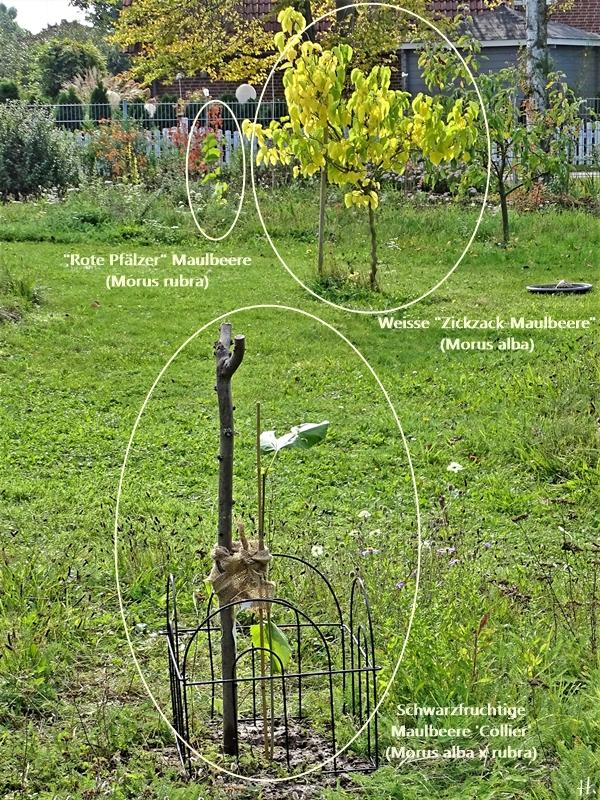 2020-10-13 LüchowSss Garten Rote Pfälzer (Morus rubra) + Weisse Zickzack-Maulbeere (Morus alba) + Schwarzfruchtige Maulbeere 'Collier'