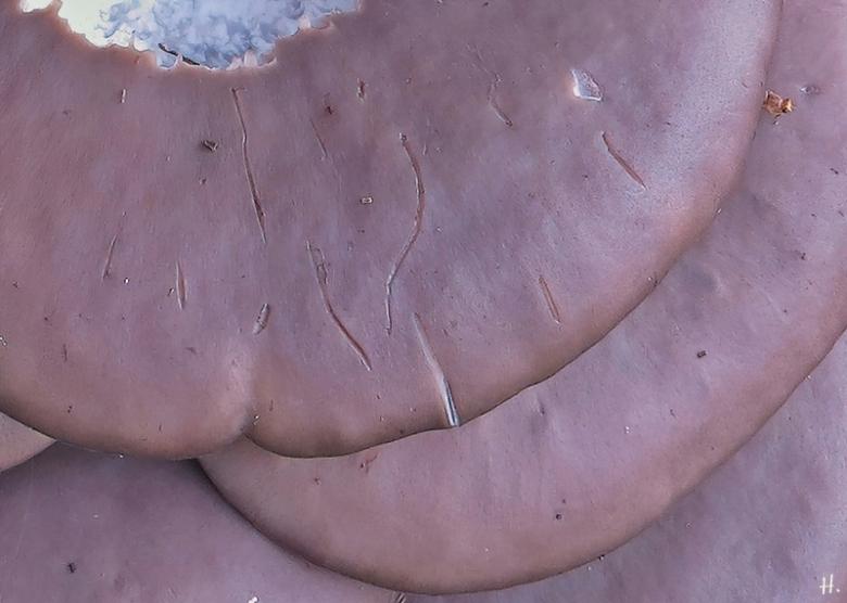 2020-10-19 LüchowSss Garten Eiche + angeknabberrte Austern-Seitlinge (Pleurotus ostratus) + Pilzmücke (Mycetophilidae) + Biss- u. Krallenspuren
