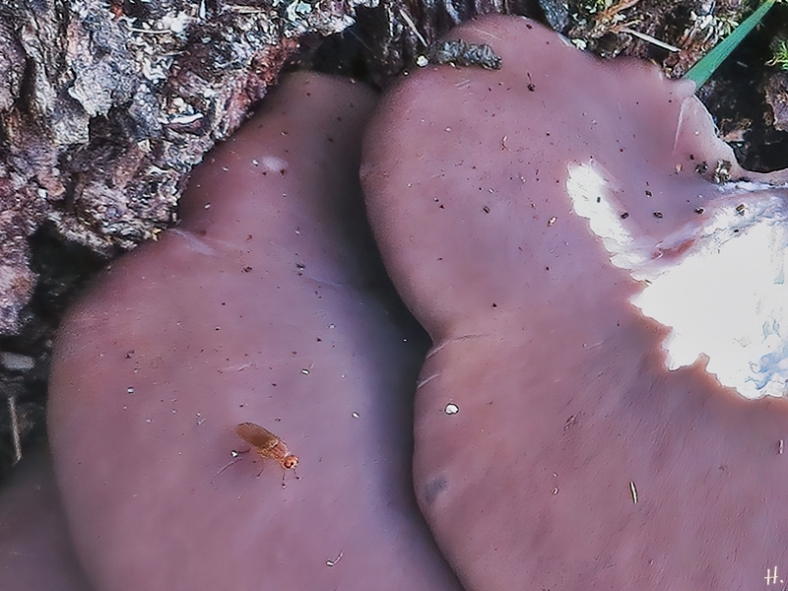 2020-10-19 LüchowSss Garten Eiche + angeknabberrte Austern-Seitlinge(Pleurotus ostratus) + bernsteinf. Fliege m. roten Augen + Mäuseköttel