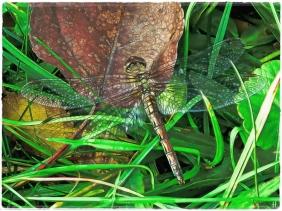 2020-10-19 LüchowSss Garten Gemeine Heidelibelle (Sympetrum vulgatum) - mit 'Topaz'-Filter bearbeitet