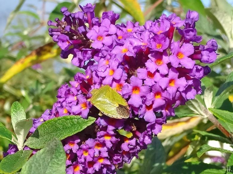 2020-10-19 LüchowSss Garten Schmetterlingsflieder (Buddleja davidii) + Grüne Stinkwanze (Palomena prasina)