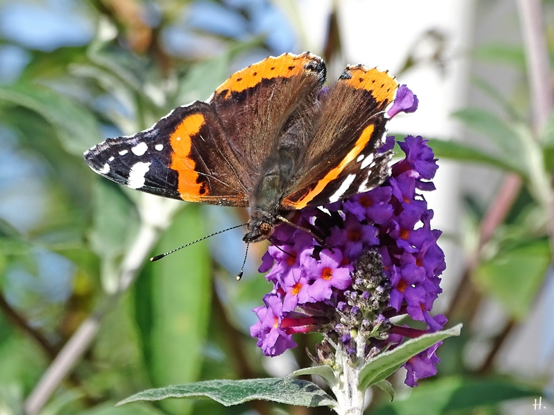 2020-10-22 LüchowSss Garten Admiral (Vanessa atalanta) + Schmetterlingsflieder (Buddleja davidii)