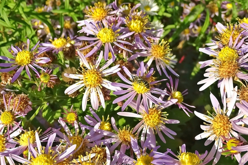 2020-10-22 LüchowSss Garten Asiatische Wildastern 'Asran' (Aster ageratoides) + Furchenbiene (Lasioglossum spec.)