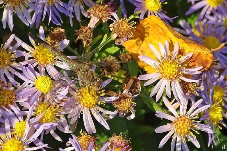 2020-10-22 LüchowSss Garten Asiatische Wildastern 'Asran' (Aster ageratoides) + Gemeine Heidelibelle (Sympetrum vulgatum)