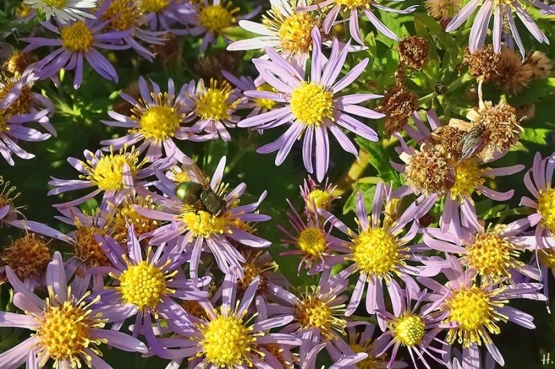 2020-10-22 LüchowSss Garten Asiatische Wildastern 'Asran' (Aster ageratoides) + Goldfliege (Lucilia sericata) + kl. graue Fliege