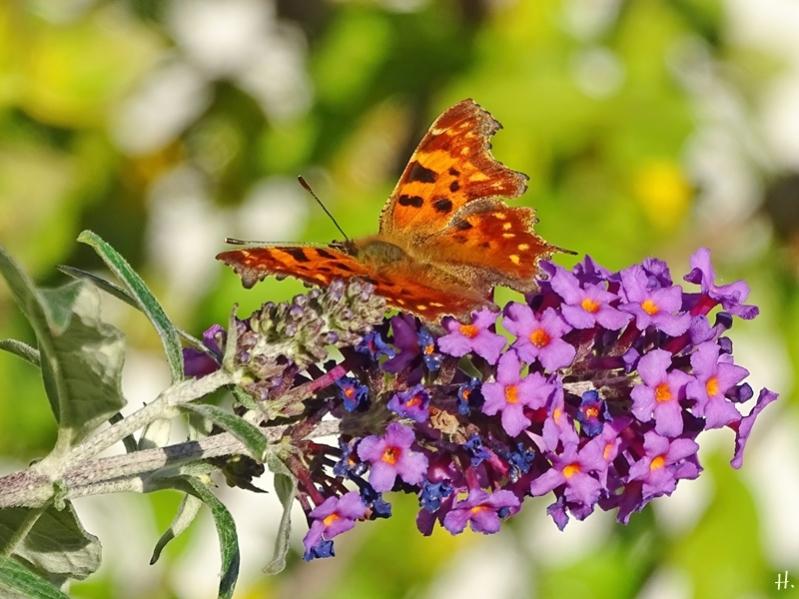 2020-10-22 LüchowSss Garten C-Falter (Polygonium c-album) + Schmetterlingsflieder (Buddleja davidii)