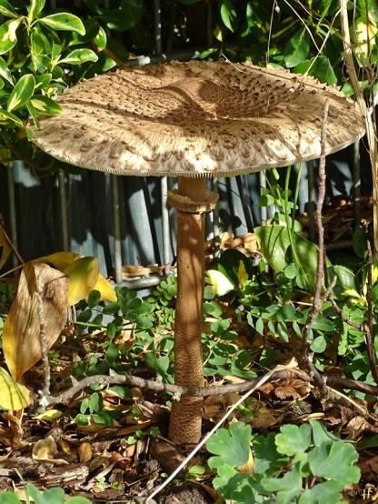 2020-10-22 LüchowSss Garten Gemeiner Riesenschirmling bzw. Parasol (Macrolepiota procera) (1)