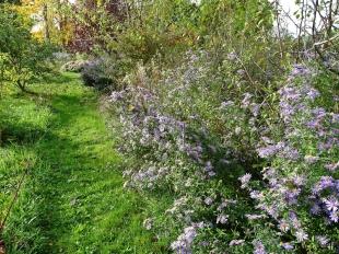 2020-10-22 LüchowSss Garten Neubelgische Glattblattastern (Symphyotrichum novi-belgii, Syn. Aster novi-belgii) am westl. Gartenrand