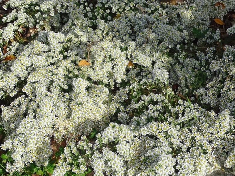 2020-10-22 LüchowSss Garten Teppich-Myrtenaster (Symphyotrichum ericoides) 'Snowflurry'