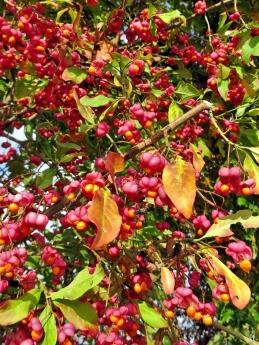 2020-10-24 LüchowSss Feldmark mit Bongo (13) Pfaffenhütchen bzw. Spindelstrauch-Früchte (Euonymus europaeus)