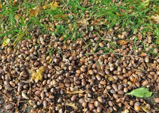 2020-10-24 LüchowSss Feldmark mit Bongo (14) Eicheln auf dem Weg