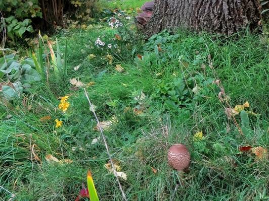 2020-10-24 LüchowSss Garten 14h35 Gemeiner Riesenschirmling bzw. Parasol (Macrolepiota procera) No. 2 (5)