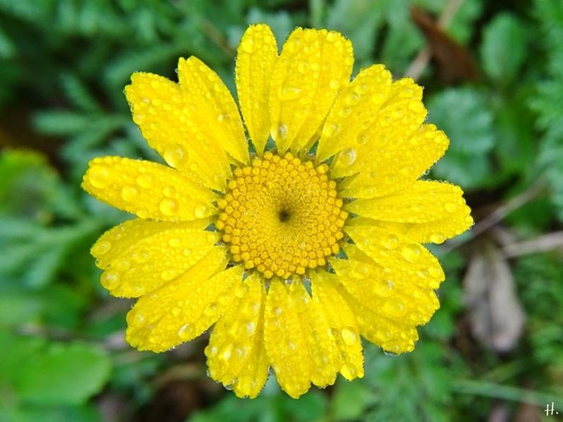 2020-10-24 LüchowSss Garten Färberkamille (Anthemis tinctoria)