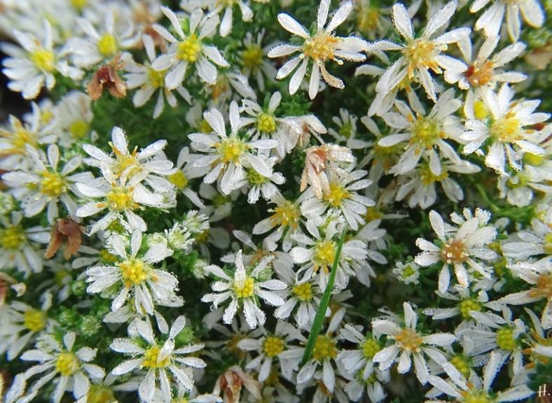 2020-10-24 LüchowSss Garten Teppich-Myrtenaster (Symphyotrichum ericoides) 'Snowflurry'