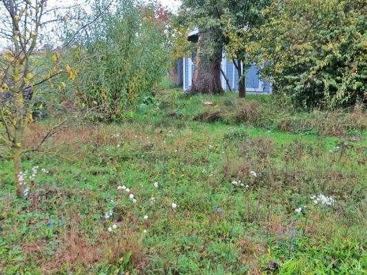 2020-10-25 LüchowSss Garten 12h05 Blick über die Wieseninsel (mit Glockenblumen!) zur Eiche mit Parasol (Macrolepiota procera) No. 2 (1)