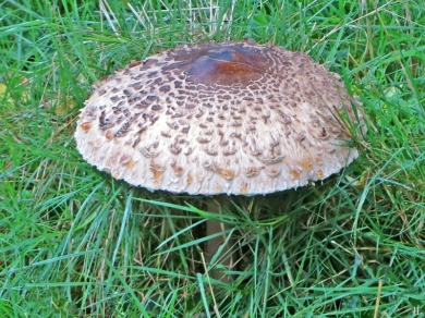 2020-10-25 LüchowSss Garten 12h05 Gemeiner Riesenschirmling, Parasol oder Riesenschirmpilz Macrolepiota procera No. 2 (3)