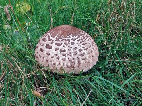 2020-10-25 LüchowSss Garten 13h24 Gemeiner Riesenschirmling, Parasol oder Riesenschirmpilz Macrolepiota procera No. 2 (2)