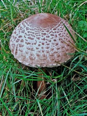 2020-10-25 LüchowSss Garten 13h25 Gemeiner Riesenschirmling, Parasol oder Riesenschirmpilz Macrolepiota procera No. 2 (1)