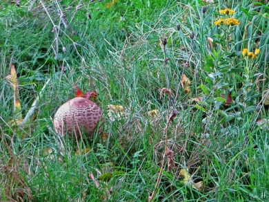 2020-10-25 LüchowSss Garten 8h24 Gemeiner Riesenschirmling, Parasol oder Riesenschirmpilz Macrolepiota procera No. 2 (1)