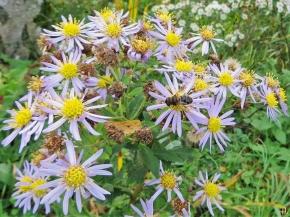 2020-10-25 LüchowSss Garten Asiatische Wildaster 'Asran' (Aster ageratoides) + Keilfleck-Schwebfliege (Eristalis spec.)
