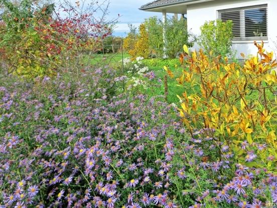 2020-10-25 LüchowSss Garten Herbstastern (Symphyotrichum) - Neubelgische Glattblattastern + Hahnendorn + Magnolie