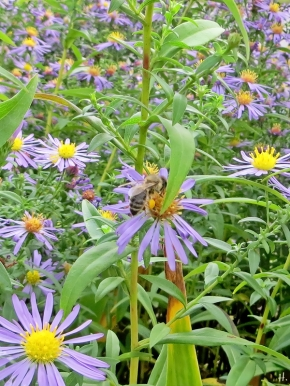 2020-10-25 LüchowSss Garten Herbstastern (Symphyotrichum) - Neubelgische Glattblattastern + Honigbiene (Apis mellifera)