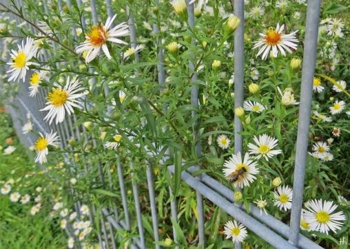 2020-10-25 LüchowSss Garten Herbstastern (Symphyotrichum) - weisses 'Novemberkraut' + Honigbiene (Apis mellifera)