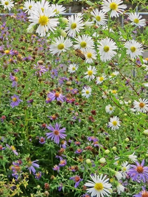 2020-10-25 LüchowSss Garten Herbstastern (Symphyotrichum) weisses 'Novemberkraut' + lila Neubelgische Glaattblattaster + Honigbiene