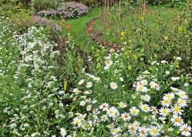 2020-10-25 LüchowSss Garten Herbstastern (Symphyotrichum) weisses 'Novemberkraut' vorn + lila Asiatische Wildaster hinten