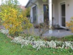 2020-10-25 LüchowSss Garten Teppich-Myrtenaster (Symphyotrichum ericoides) 'Snowflurry'