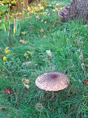 2020-10-27 LüchowSss Garten ca. 8h45 Gemeiner Riesenschirmling, Parasol oder Riesenschirmpilz (Macrolepiota procera) No. 2 (1)