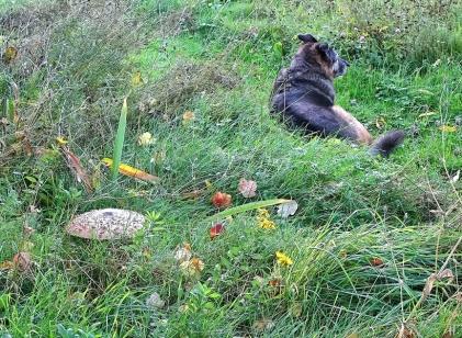 2020-10-27 LüchowSss Garten ca. 8h45 Gemeiner Riesenschirmling, Parasol oder Riesenschirmpilz (Macrolepiota procera) No. 2 - von Bongo bewacht