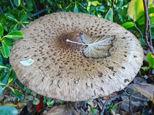 2020-10-27 LüchowSss Garten Gemeiner Riesenschirmling, Parasol oder Riesenschirmpilz (Macrolepiota procera) No. 1 (3)
