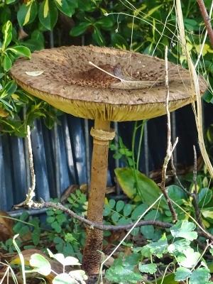 2020-10-27 LüchowSss Garten Gemeiner Riesenschirmling, Parasol oder Riesenschirmpilz (Macrolepiota procera) No. 1 (4)