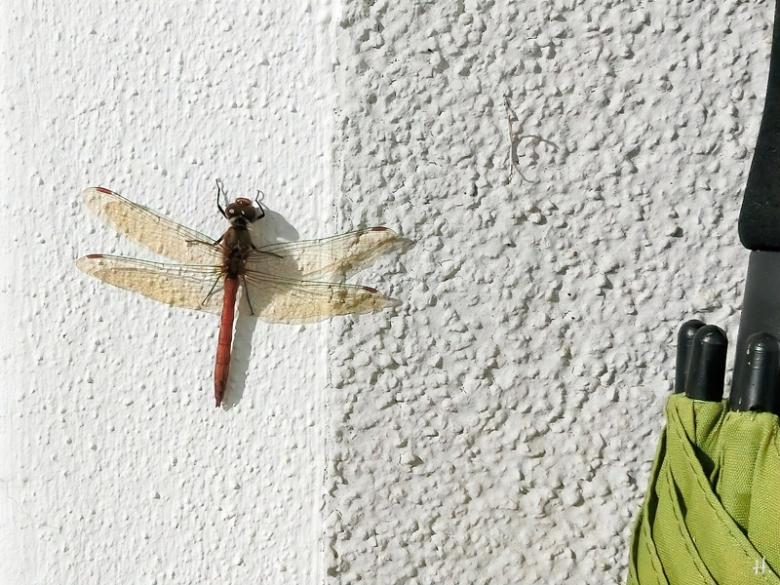 2020-10-27 LüchowSss Garten männl. Gemeine Heidelibelle (Sympetrum vulgatum) an der Hauswand mit Schirm