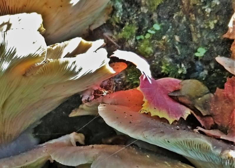 2020-10-28 LüchowSss Garten Eiche + Austernseitlinge (Pleurotus ostreatus) + Sporenflug