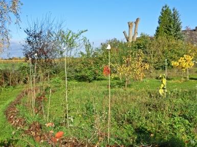 2020-10-27 LüchowSss Garten (3) neugepflanzte Sträucher vorn + Blutpflaume + Apfelbäume + Rote u. Weisse Maulbeeren u.a.m