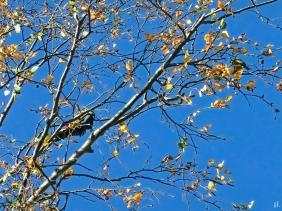 2020-10-28 LüchowSss Garten Buntspecht (Dendrocopos major bzw. Picoides major) Männchen + Kohlmeise (Parus major) in der Birke
