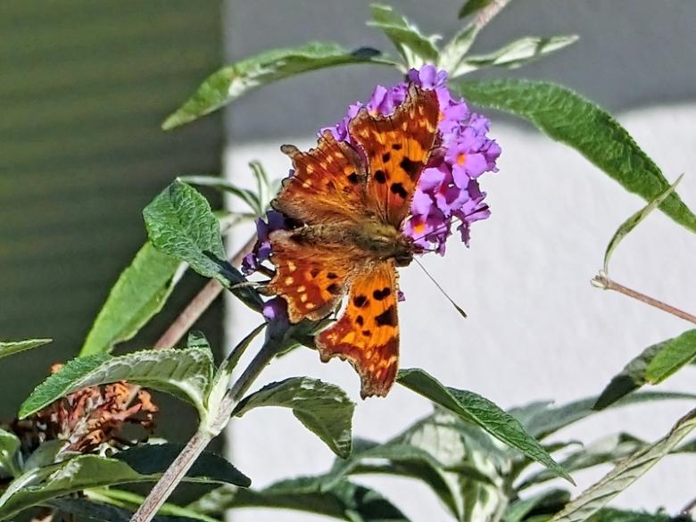 2020-10-28 LüchowSss Garten C-Falter (Polygonia c-album) an Schmetterlingsflieder (Buddleja davidii)