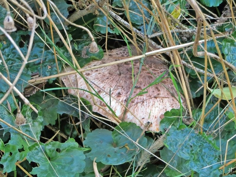 2020-10-28 LüchowSss Garten Gemeiner Riesenschirmling, Parasol od. Riesenschirmpilz (Macrolepiota procera) No. 3