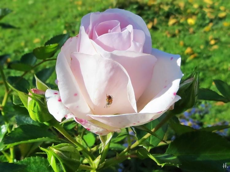 2020-10-28 LüchowSss Garten Rose 'Aspirin' (Tantau) + kl. Spinne