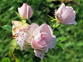 2020-10-28 LüchowSss Garten Rose 'Aspirin' (Tantau)