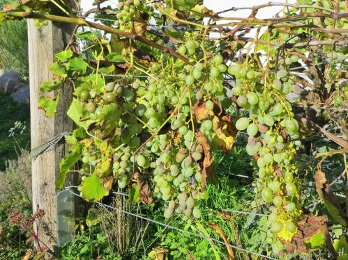 2020-10-28 LüchowSss Garten Wein (Vitis vinifera ssp. vinifera) Spanische Reben (1)