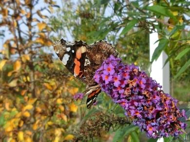 Admiral (Vanessa atalanta) an Schmetterlingsflieder (Buddleja davidii)